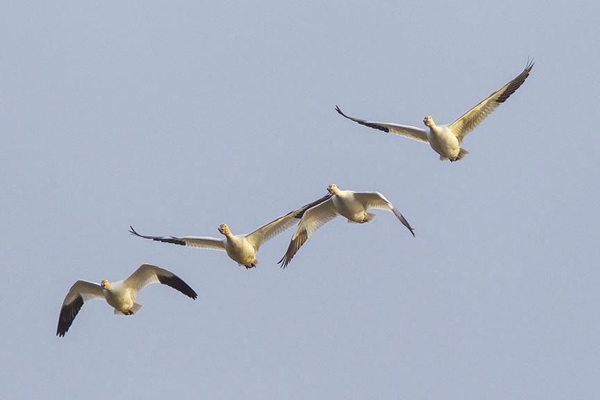 snow-geese-brig-fly-v1_43g1420