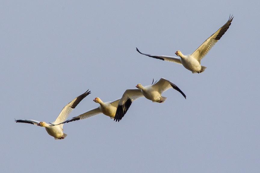 snow-geese-brig-fly-v1_43g1421