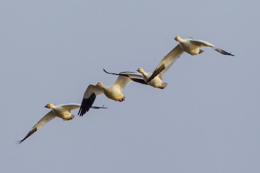 snow-geese-brig-fly-v1_43g1422