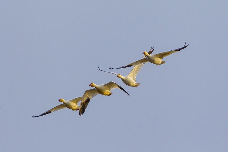 snow-geese-brig-fly-v1_43g1424