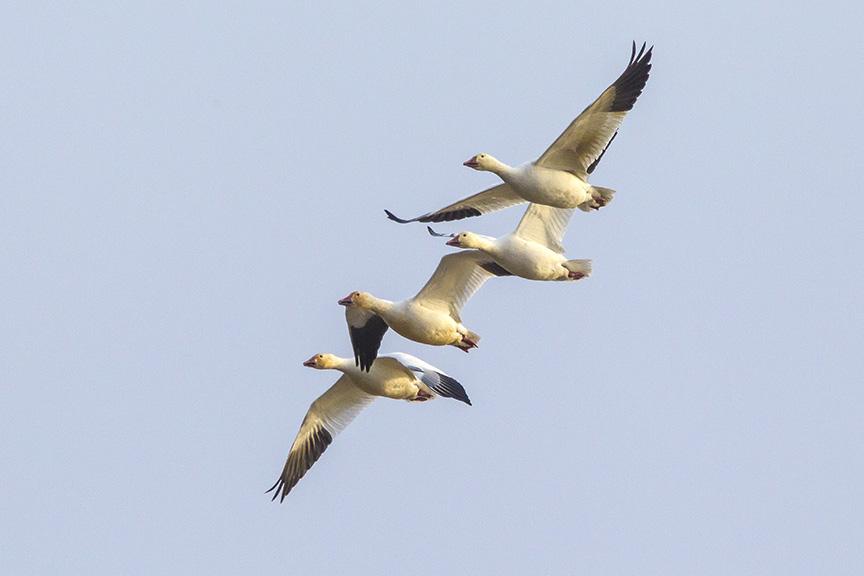 snow-geese-brig-fly-v1_43g1429