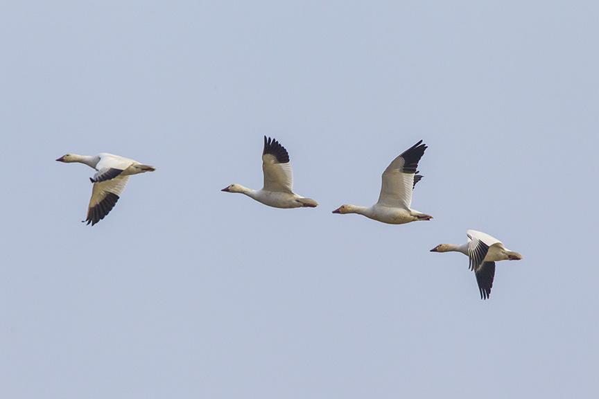 snow-geese-brig-fly-v1_43g1450