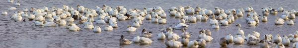 snow-geese-brig-pano-8shot-v3