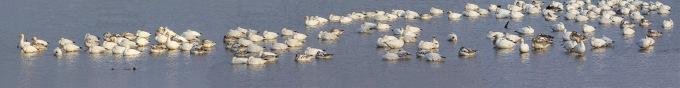 snow-geese-brig-pano-v1-25-sht