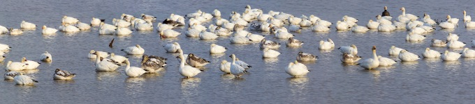 snow-geese-brig-v1-14img-stk