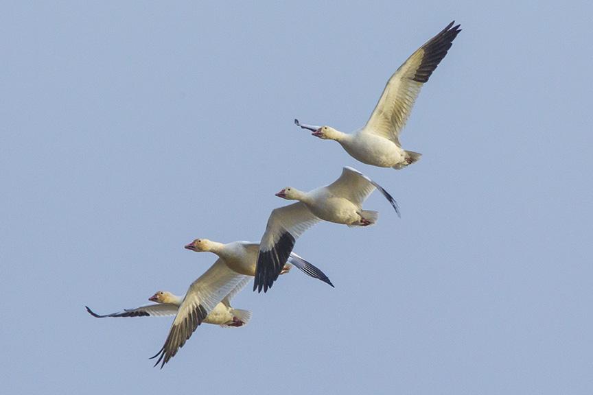 snow-geese-brig-v1_43g1426
