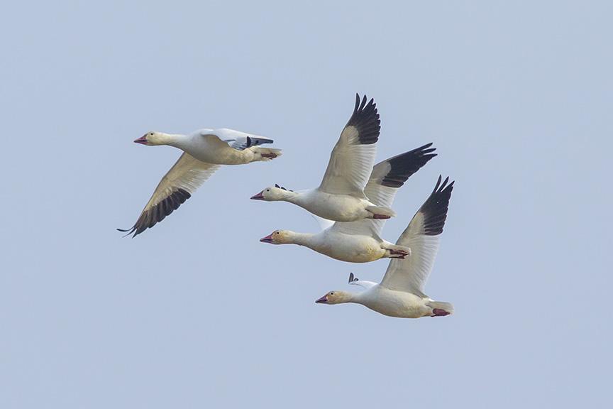 snow-geese-brig-v1_43g1440