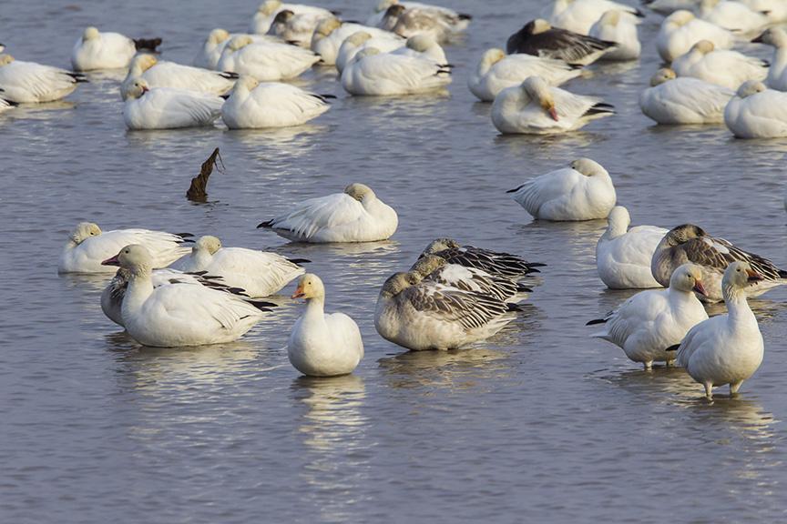 snow-geese-brig-v1_43g1562