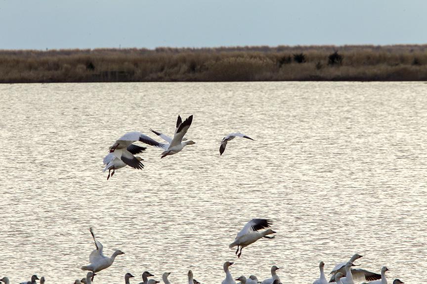 snow-geese-brig-v1_43g1740