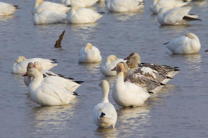 snow-geese-brig-v2_43g1481