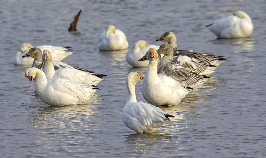 snow-geese-group-v4-3brig_43g1480