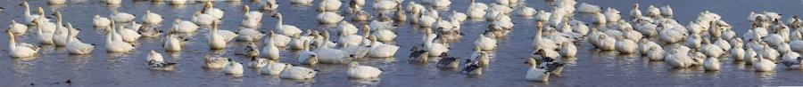 snow-geese-pano-brig-v1-12sht