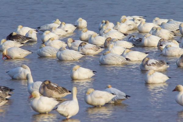 snow-geese-sleeping-brig-v1_43g1608