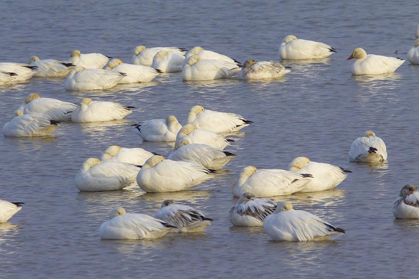 snow-geese-sleeping-brig-v1_43g1672