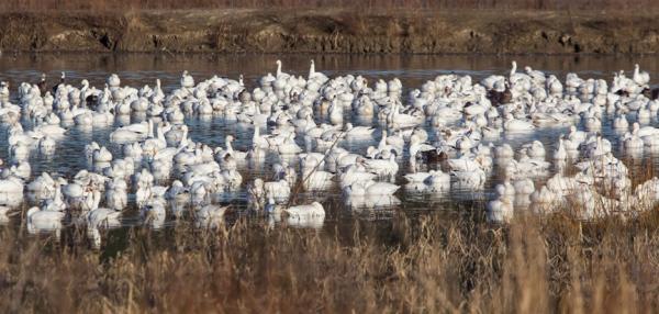 snow-geese-v1-bwr_43g4115