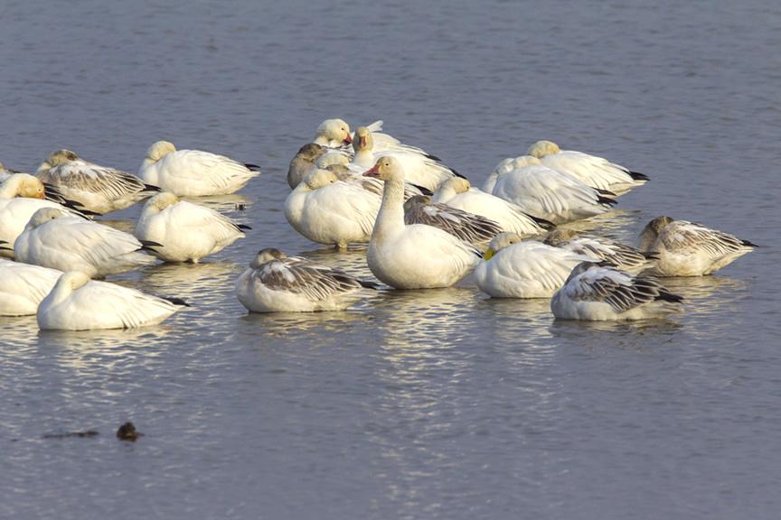 snow-geese-waking-up-v3-brig-v1-1-17_43g1590