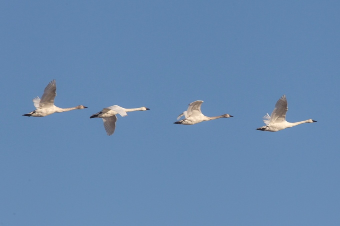 tundra-swans-flight-bwr-v2_43g4074