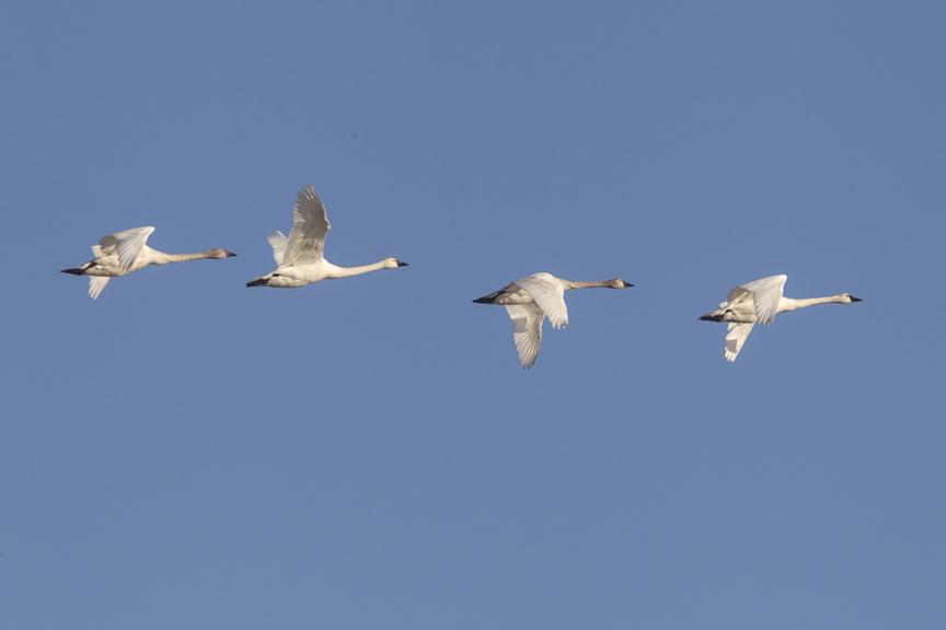 tundra-swans-flight-v2-bwr_43g4073