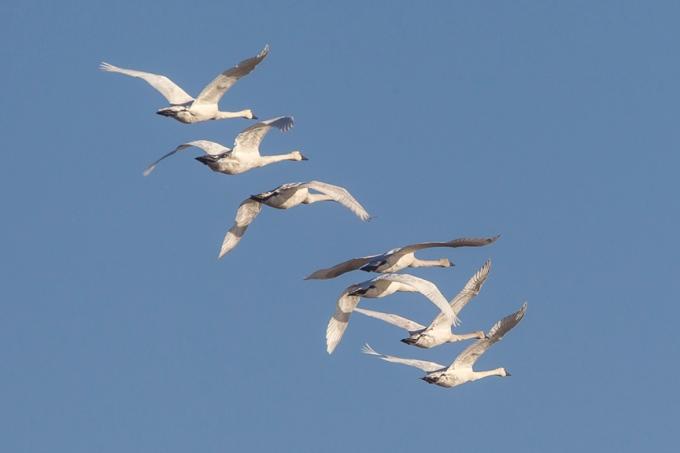tundra-swans-flt-bwr-v1_43g4080