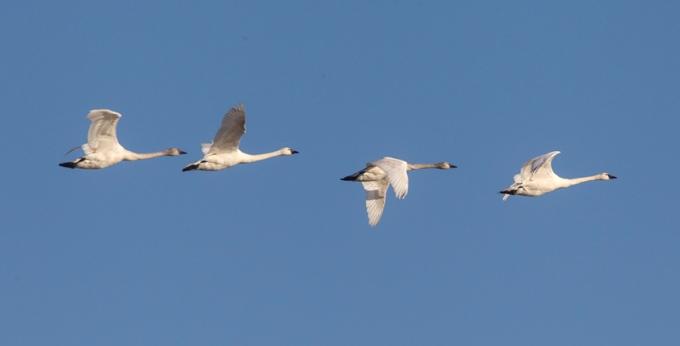 tundra-swans-flying-bwr-v2_43g4076