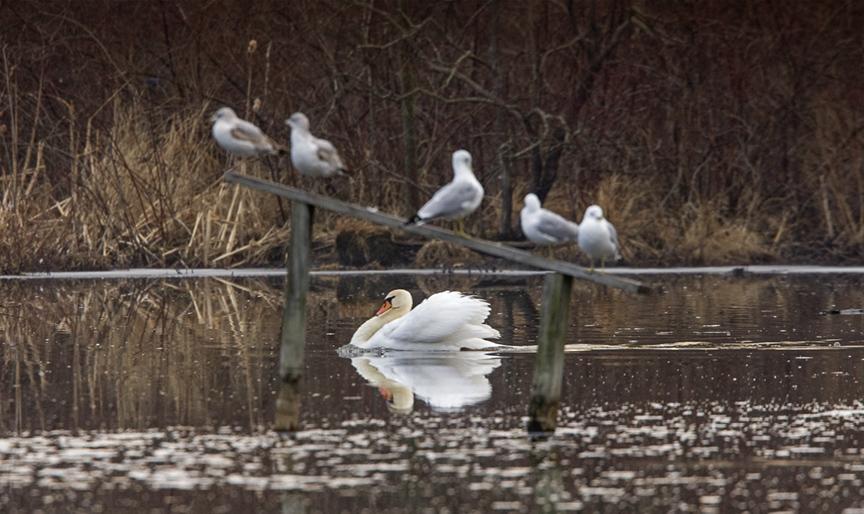 mute-swan-swimming-v3_ma_6847ash