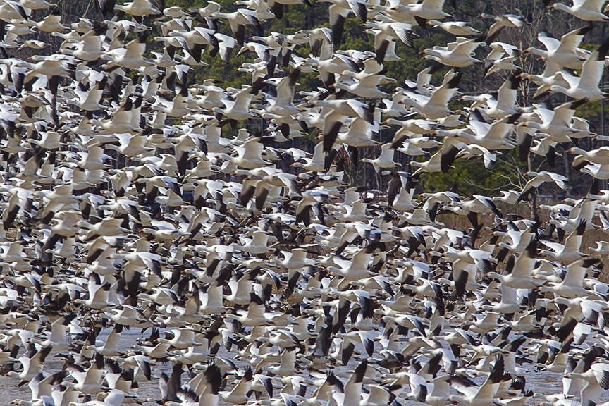 Snow Geese Bwr v1_43G6859