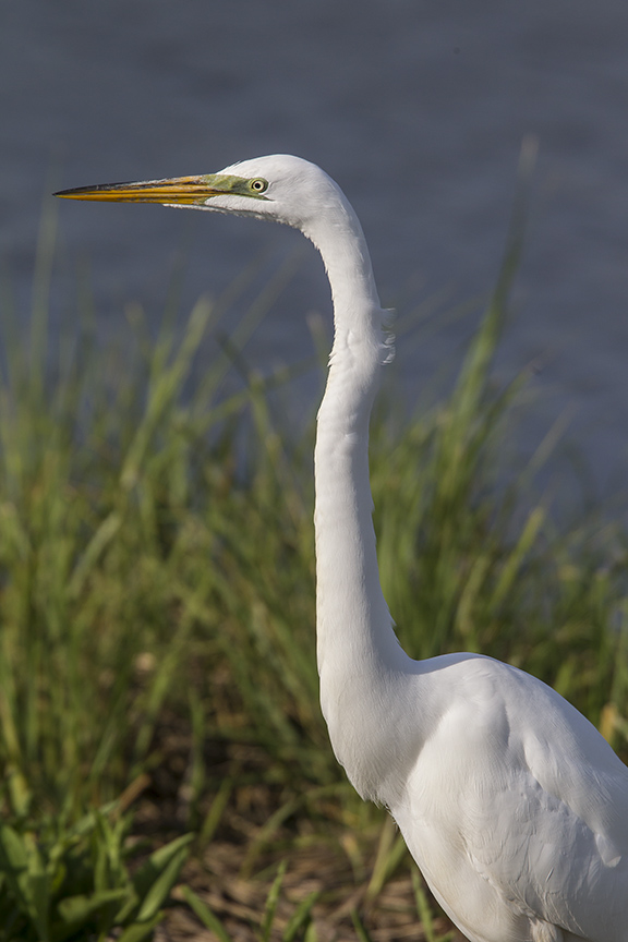 Great Egret v1 Brig 5 17_43G2715 2