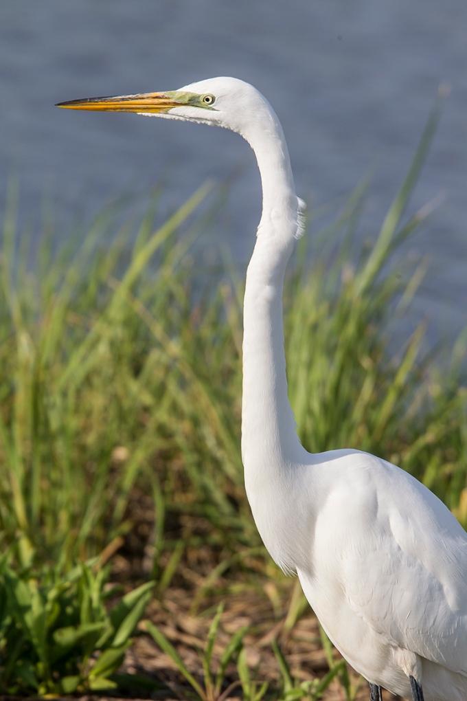 Great Egret v1 brig 5 17_43G2718 2