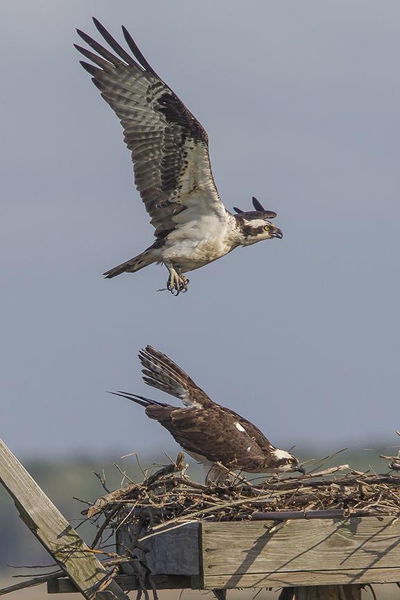 Osprey mating v2_43G2545 2