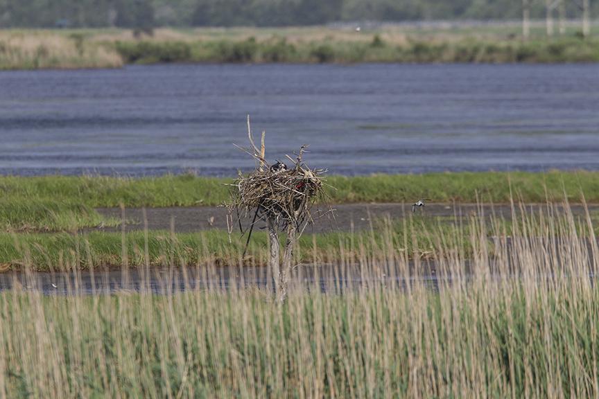 Osprey Nest sm tree v1 Brig 5 17_43G2853 2