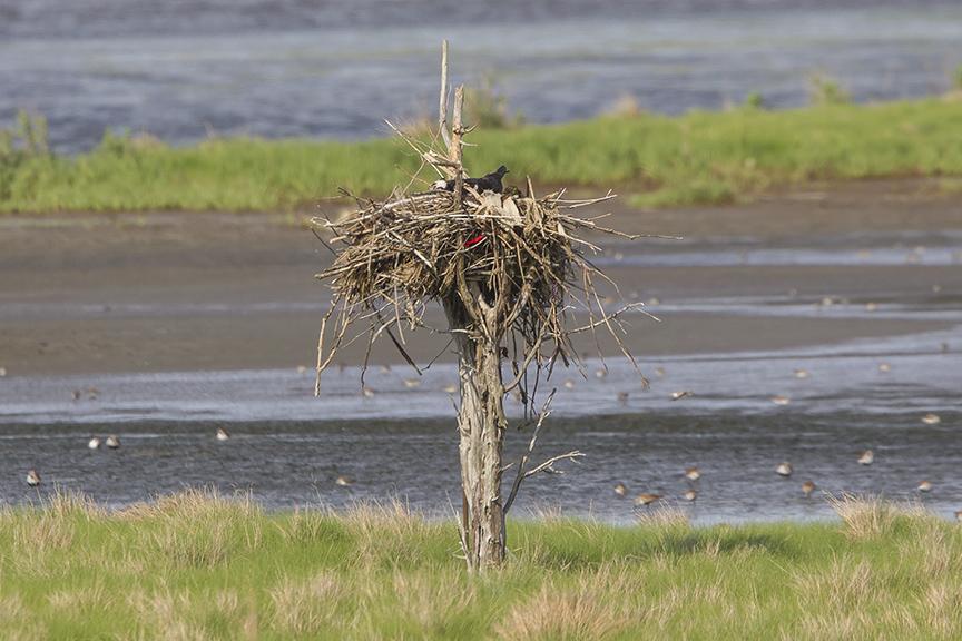 Osprey nest sm tree v2 Brig 5 17__43G2880 2-2
