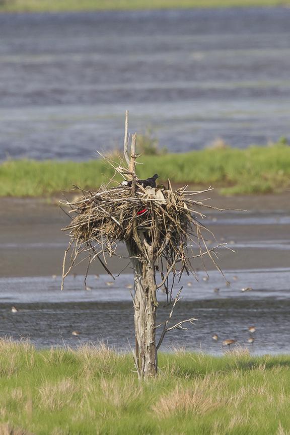 Osprey nest sm tree v3 Brig 5 17__43G2880 2-2