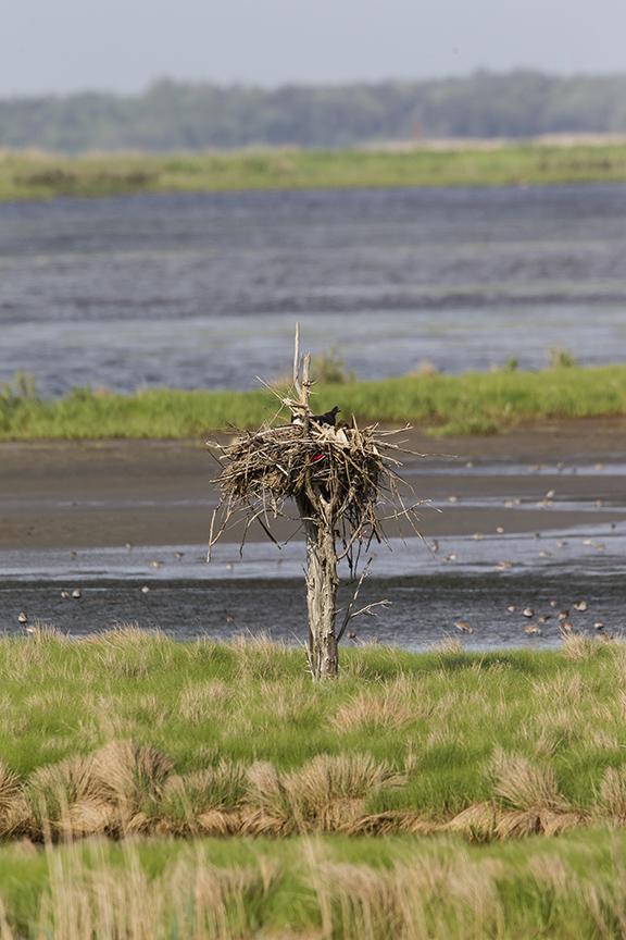Osprey nest tree v1 brig 5 17_43G2923 2