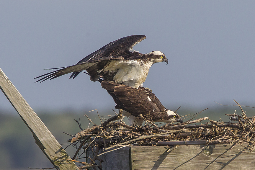 Ospreys mating v3 Brig 5 17_43G2541 2