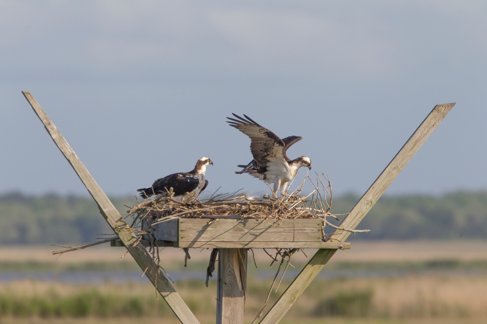 Ospyeys rearrange nest v1_43G2484 2