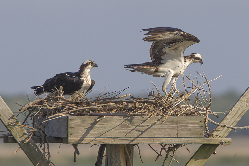 Ospyeys rearrange nest v3_43G2482 2