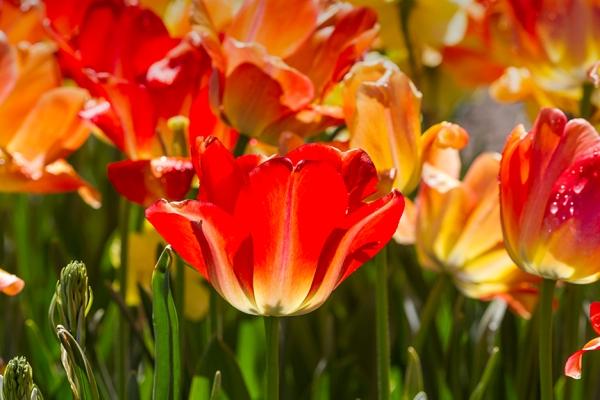 tulip v1 LW_43G9247