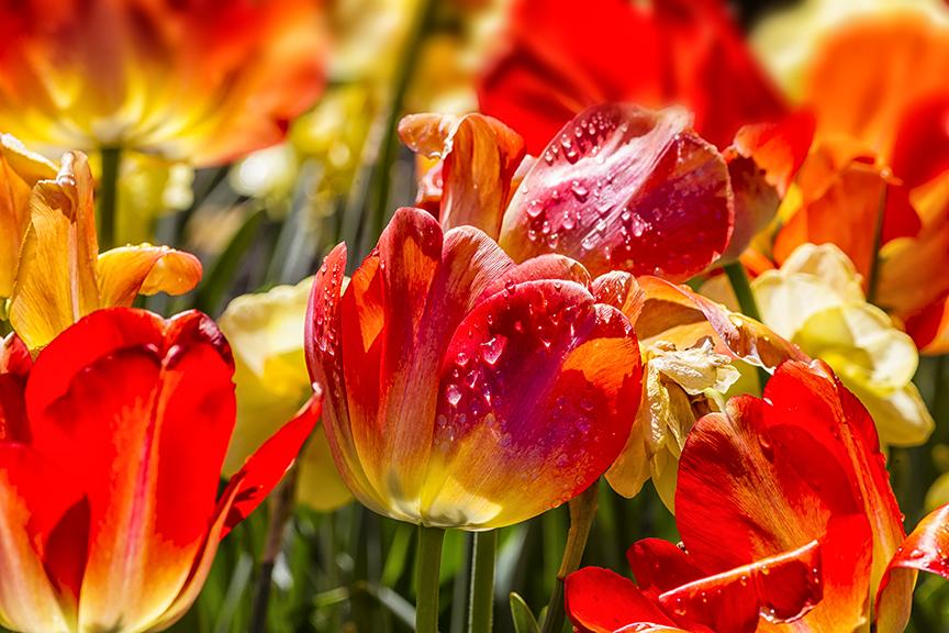 tulips LW 4 17 blnd 3 sht_nik 43G9226