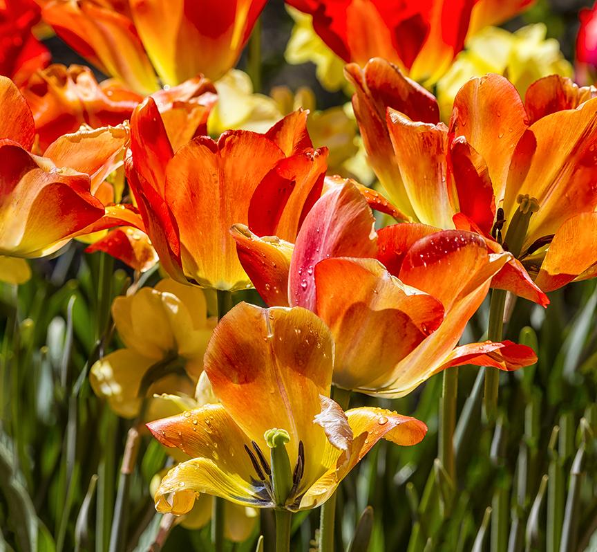 Tulips LW 4 17 v1 2 sht stk v2