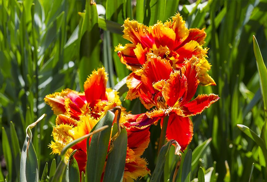 Tulips LW 9img pano v1