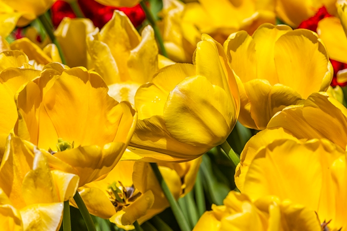 Tulips LW v1_43G9218