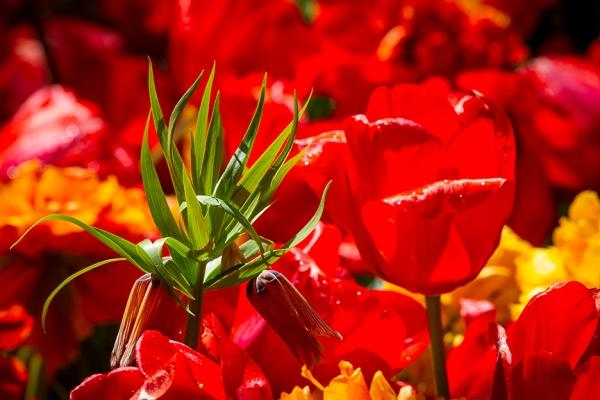 Tulips LW v1_43G9254