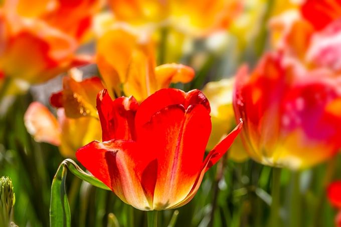 Tulips LW v4_43G9229