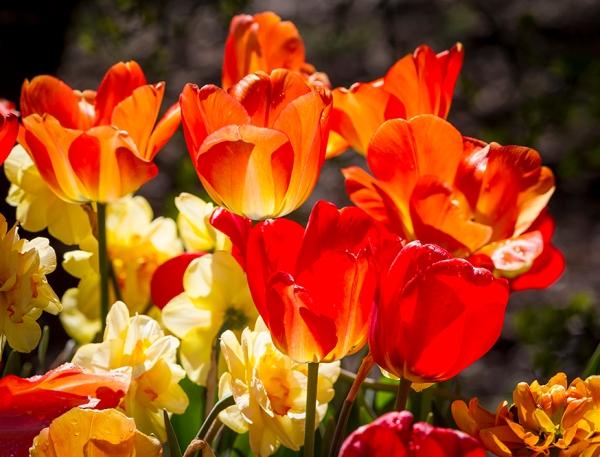 Tulips stk LW v2 4img stk