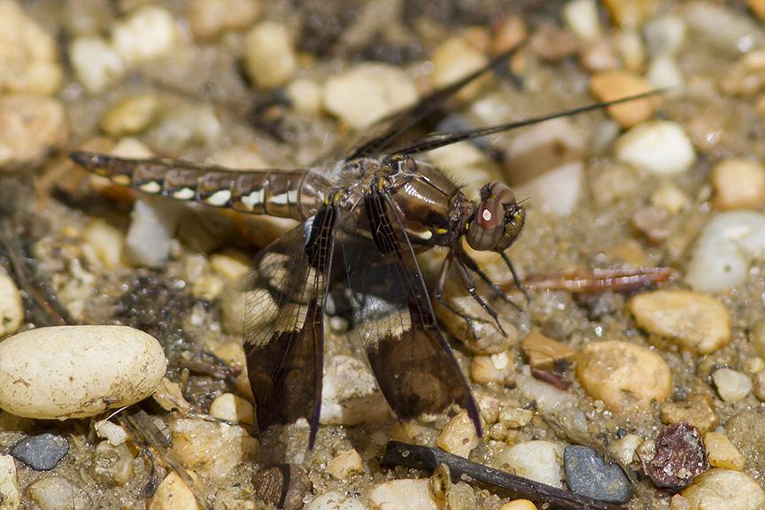 Common Whitetail Female v2_MG_8103