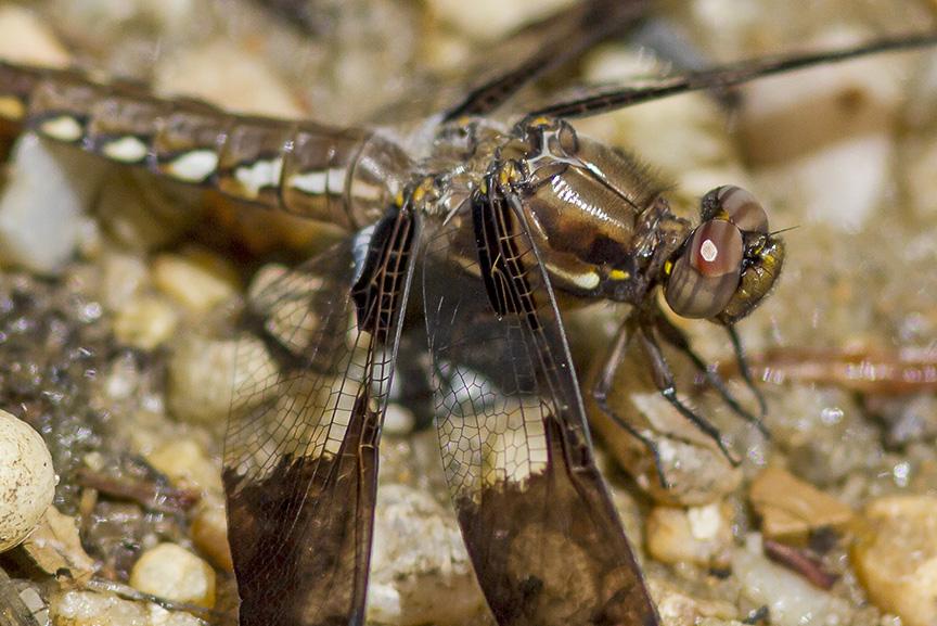 Common Whitetail Female v3_MG_8109