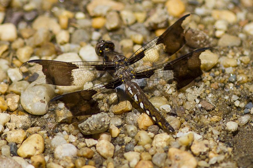 Common Whitetail Female_MG_8064 v2