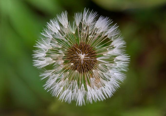 Dandelion 4img stk v2