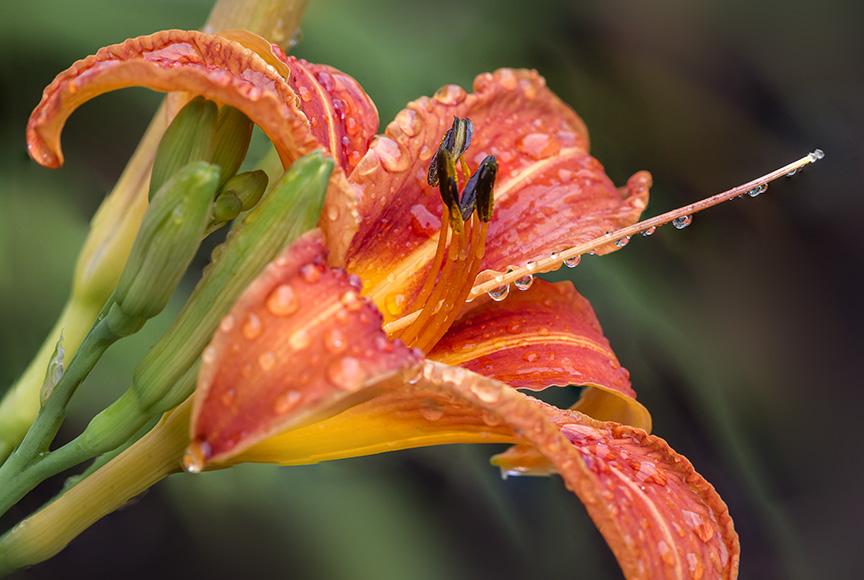 Day Lily aftr Rain 6 17 v2