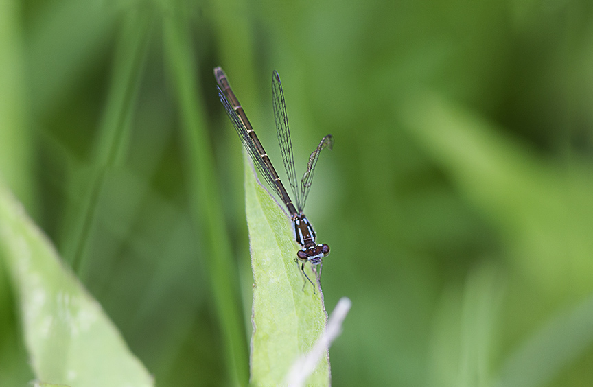 Northern Bluet v1 2img stk DM 6 17